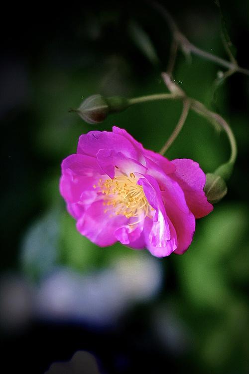 想起了夏天的蔷薇